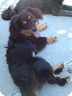Cavalier King Charles Spaniel/Dachshund Mix Puppy for adoption in W. Warwick, Rhode Island - CHARLIE