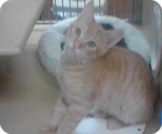Domestic Mediumhair Kitten for adoption in New York, New York - Crouton
