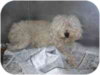 Poodle (Miniature) Mix Dog for adoption in Sacramento, California - Hunnybear - URGENT!