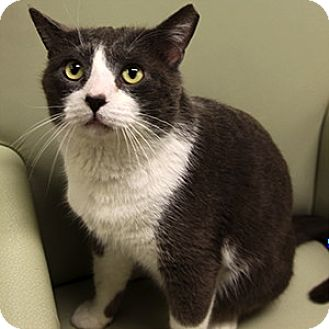 Domestic Shorthair Cat for adoption in Gilbert, Arizona - Haskell