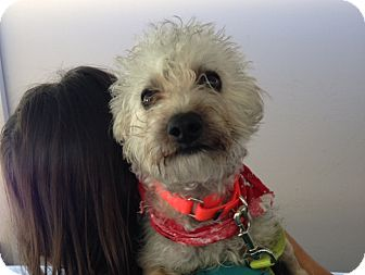 Poodle (Miniature)/Schnauzer (Miniature) Mix Dog for adoption in Mission Viejo, California - Perry