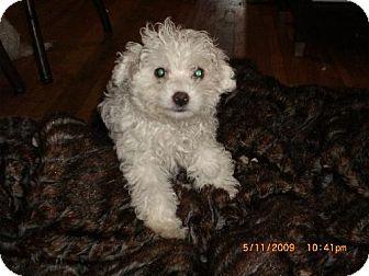Maltese/Poodle (Miniature) Mix Puppy for adoption in Long Beach, California - Cream Puff