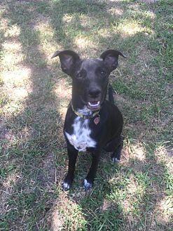 Labrador Retriever/Australian Cattle Dog Mix Dog for adoption in Tomball, Texas - Tipper