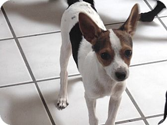 Chihuahua/Fox Terrier (Toy) Mix Puppy for adoption in Las Cruces, New Mexico - Brisco
