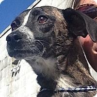 Adopt A Pet :: Maeve - Minneapolis, MN
