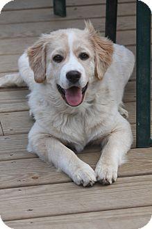 Golden Retriever/Anatolian Shepherd Mix Dog for adoption in Bedford Hills, New York - Milo