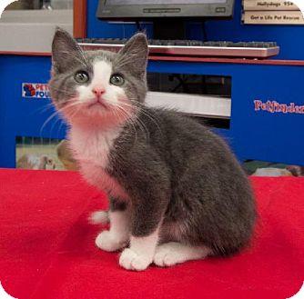 Domestic Mediumhair Kitten for adoption in Tallahassee, Florida - Cameron