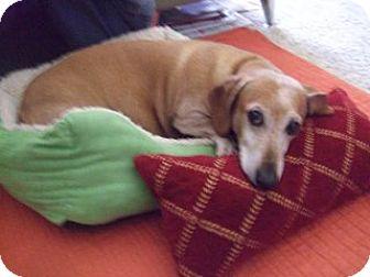 Dachshund Dog for adoption in Forest Ranch, California - Bonds