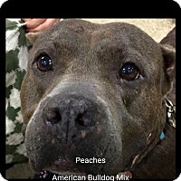 Staffordshire Bull Terrier/Labrador Retriever Mix Dog for adoption in Pompano Beach, Florida - Peaches