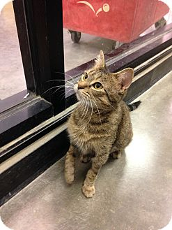 Domestic Shorthair Cat for adoption in Cincinnati, Ohio - Bavaria