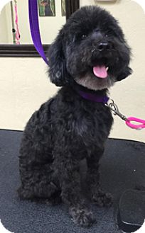 Poodle (Toy or Tea Cup) Dog for adoption in Melbourne, Florida - BUDDY BOY