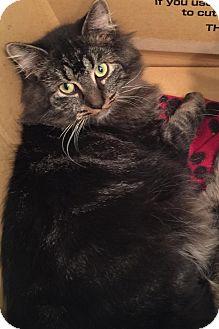Domestic Mediumhair Cat for adoption in Covington, Kentucky - Joe