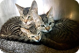 Domestic Shorthair Kitten for adoption in Oakdale, California - Ariel, Ursula & Sebastian