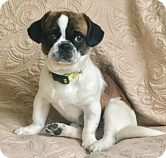 Pug/Beagle Mix Puppy for adoption in Newport Beach, California - Beethoven