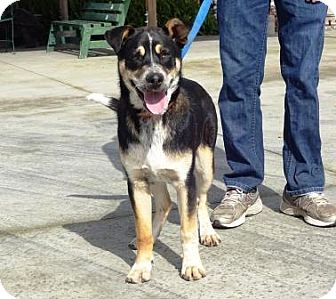Cattle Dog Mix Dog for adoption in Lathrop, California - Chase