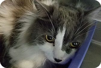 Domestic Longhair Cat for adoption in Elyria, Ohio - Rocky