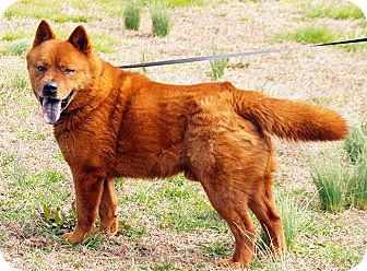 Chow Chow Dog for adoption in Maynardville, Tennessee - Bear