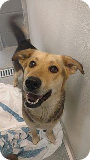 German Shepherd Dog/Husky Mix Dog for adoption in Sandusky, Ohio - MACY