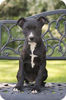Golden Retriever/Labrador Retriever Mix Puppy for adoption in Glendale, Ohio - Washington