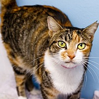Calico Cat for adoption in oakland park, Florida - Sweet Cali