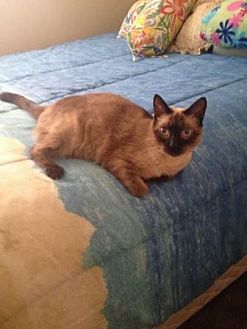 Siamese Cat for adoption in Parlier, California - Crystal**