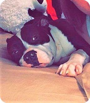 Boston Terrier Mix Dog for adoption in Milwaukee, Wisconsin - ZOEY