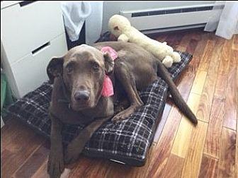 Labrador Retriever Dog for adoption in San Francisco, California - Daisy