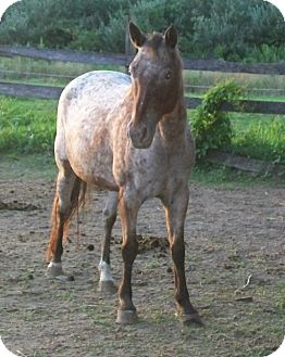 Appaloosa for adoption in Norris City, Illinois - Cherokee Cherry