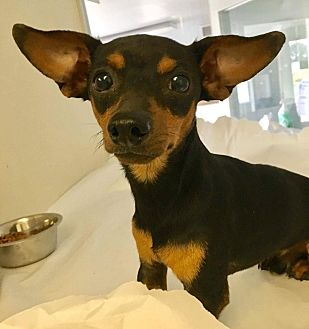 Dachshund Mix Dog for adoption in Fort Wayne, Indiana - Pearl