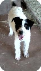 Fox Terrier (Wirehaired) Mix Dog for adoption in Post, Texas - Hank