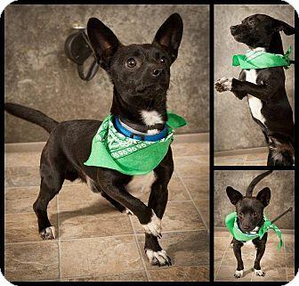 Chihuahua Mix Dog for adoption in North Brunswick, New Jersey - Jason