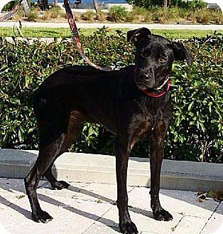 Labrador Retriever/Labrador Retriever Mix Dog for adoption in West Palm Beach, Florida - Rover