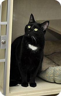 Domestic Shorthair Cat for adoption in Brooklyn, New York - Mr.  Jingles