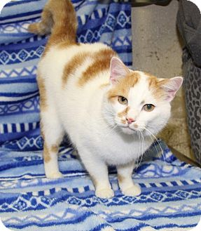 Domestic Shorthair Cat for adoption in Orland Park, Illinois - Mr. Fluffy