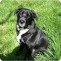 Adopt A Pet :: Bear - Oakhurst, CA