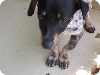 Dachshund Mix Dog for adoption in Thomaston, Georgia - Scooter
