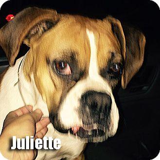 Boxer Dog for adoption in Encino, California - Juliette