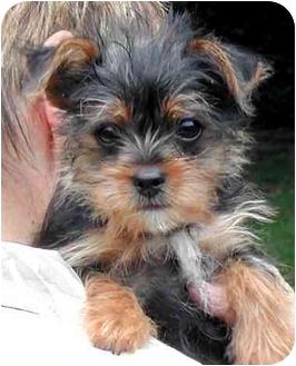 Yorkie, Yorkshire Terrier Puppy for adoption in El Segundo, California - Tiny