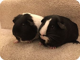Guinea Pig for adoption in Winchester, Virginia - Bucca
