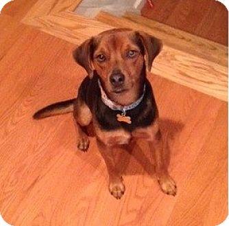 Hound (Unknown Type) Mix Dog for adoption in Rockaway, New Jersey - Copper