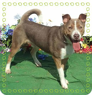 Siberian Husky/Shepherd (Unknown Type) Mix Dog for adoption in Marietta, Georgia - TONKA see video