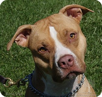 Pit Bull Terrier Mix Dog for adoption in Dundee, Michigan - Vinnie - Adoption Pending