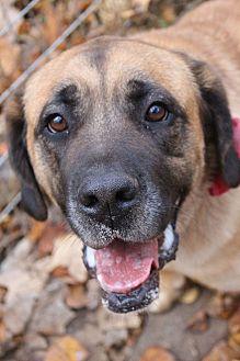 St. Bernard/Labrador Retriever Mix Dog for adoption in Gapland, Maryland - Maggie