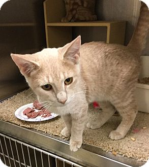 Domestic Shorthair Kitten for adoption in Colmar, Pennsylvania - Dixby