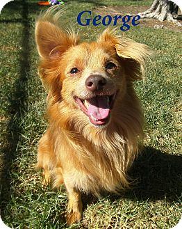 Chihuahua Mix Dog for adoption in El Cajon, California - George
