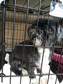 Shih Tzu Dog for adoption in Red Lion, Pennsylvania - PRINCE