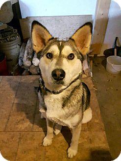 Husky Mix Dog for adoption in Smithers, British Columbia - Panya