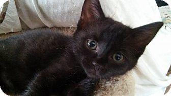 Domestic Shorthair Kitten for adoption in Flushing, Michigan - Dijon