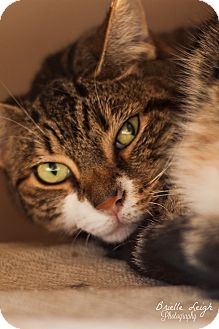 Domestic Shorthair Cat for adoption in Brimfield, Massachusetts - Lynx