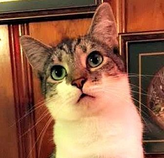 Domestic Shorthair Cat for adoption in Burlington, North Carolina - SIDNEY